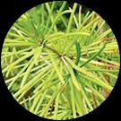 オオマツタケの葉エキス